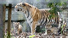 アムールトラ赤ちゃん、かわいさ2倍  旭山動物園で公開
