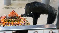 ご長寿チンパンジー ケーキでお祝い 円山動物園