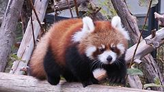 名前決めてね レッサーパンダ赤ちゃん公開中 円山動物園