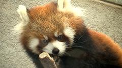 レッサーパンダ赤ちゃん 名前は「円実」 円山動物園