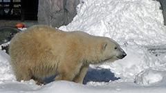 旭山動物園、冬の営業開始 園内は一面雪景色