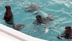 「凍るど!プール」のアザラシ<おたる水族館 楽しい仲間たち>19