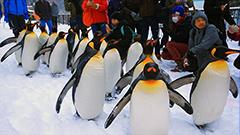 雪の上をよちよち行列で歩く姿に歓声 旭山動物園でペンギンの散歩始まる