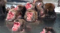 今年の主役、お疲れさま 函館市熱帯植物園でサルの温泉入浴 表情豊かな姿に来場者ほっこり