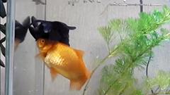 泳ぐの不自由な仲間の食事を一生懸命助ける「介護金魚」が話題 北海道・平取町