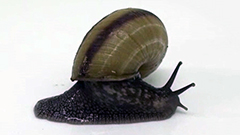 殻を振り回して天敵倒すカタツムリ・エゾマイマイの行動を動画撮影