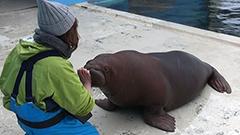 かわいいけど短気なセイウチのしずく<おたる水族館楽しい仲間たち>21