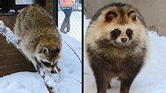違い分かるかな エゾタヌキとアライグマ<旭山動物園わくわく日記>