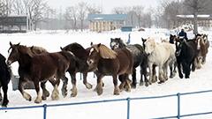 妊娠した1t超の巨体も 農耕馬110頭がドドド 真冬を疾走 北海道・音更の牧場